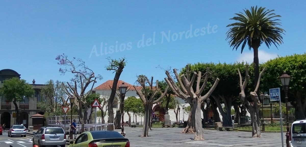 Malestar en La Laguna tras el corte de la copa de decenas de árboles al inicio del verano