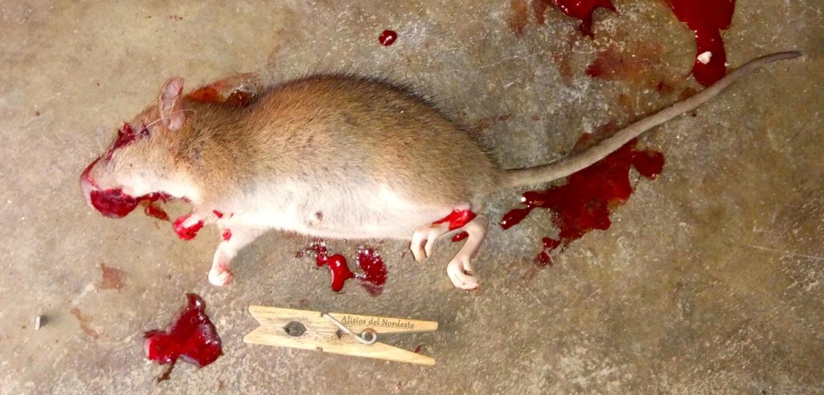 Alertan de ratas que atacan a personas en la comarca nordeste
